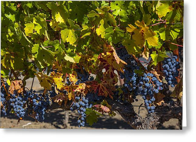 Grape Vineyard Greeting Cards - Grape Harvest Greeting Card by Garry Gay