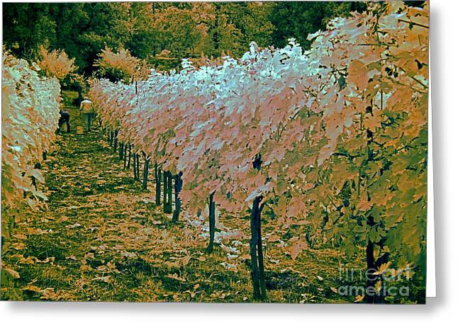 Grapevine Photographs Greeting Cards - Grape Harvest, Umbria, Italy Greeting Card by Tim Holt