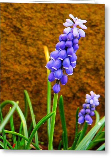 Blue Grapes Greeting Cards - Grape Hyacinth and Sandstone  Greeting Card by Chris Berry