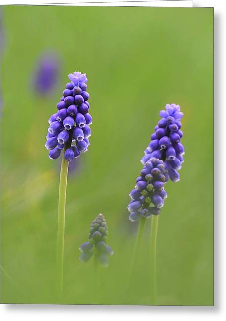 Grape Hyacinths Greeting Cards - Grape Hyacinth Greeting Card by Angie Vogel
