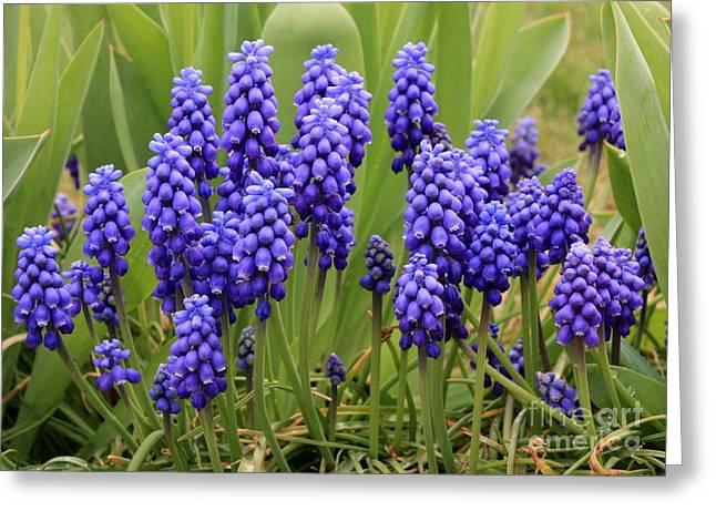 Perrenials Greeting Cards - Grape Hyacinth Greeting Card by Carol Groenen