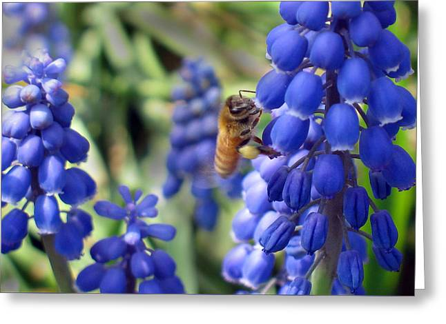 Blue Grapes Greeting Cards - Grape Hyacinth  Greeting Card by David T Wilkinson