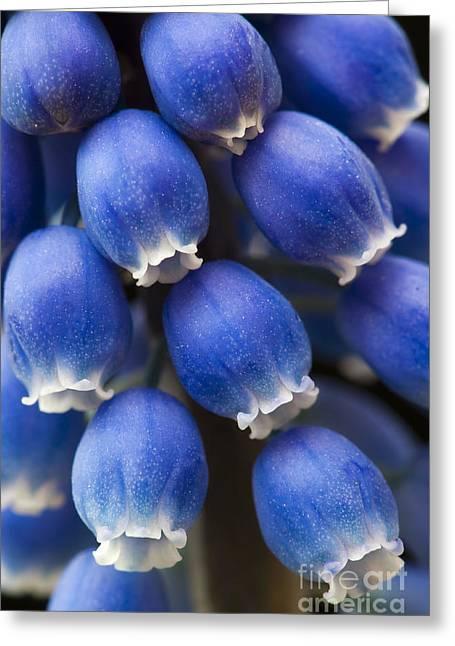 Grape Hyacinth Flower  Greeting Card by Tim Gainey