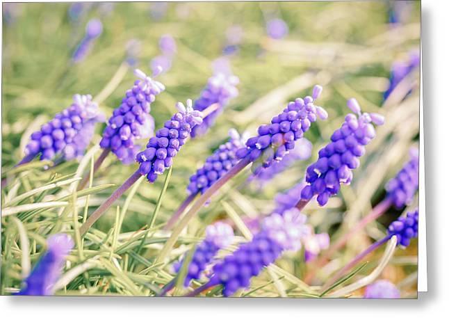 Grape Hyacinth Flowers Greeting Card by Wladimir Bulgar