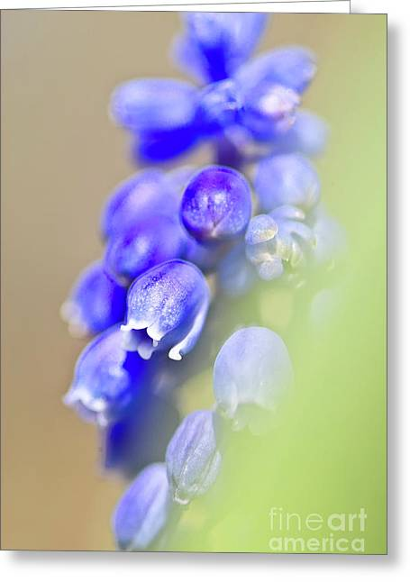 Grape Hyacinths Greeting Cards - Grape hyacinth muscari after the shower Greeting Card by Heiko Koehrer-Wagner