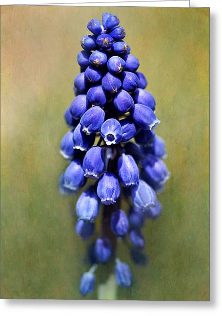 Blue Grapes Greeting Cards - Grape Hyacinth Greeting Card by Nikolyn McDonald
