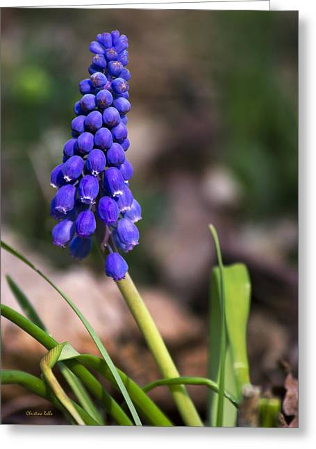 Grape Hyacinths Greeting Cards - Grape Hyacinth Wildflower Greeting Card by Christina Rollo
