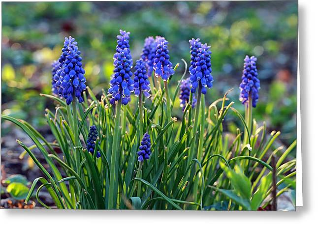 Spring Bulbs Greeting Cards - Grape Hyacinths Greeting Card by Jaki Miller