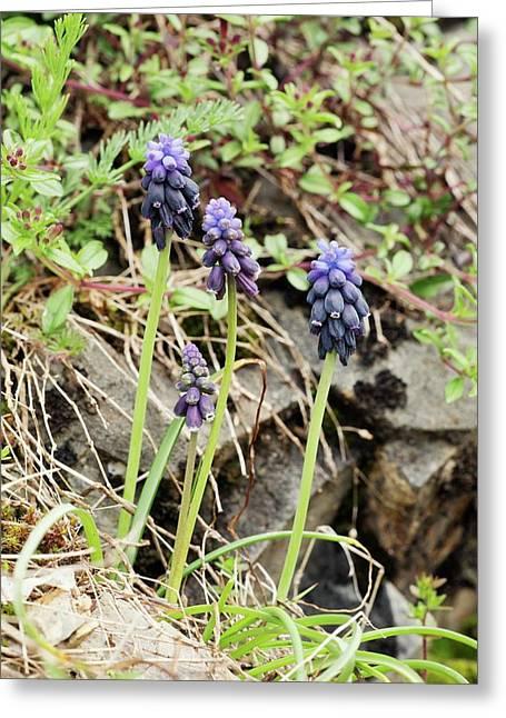 Grape-hyacinths (muscari Neglectum) Greeting Card by Bob Gibbons