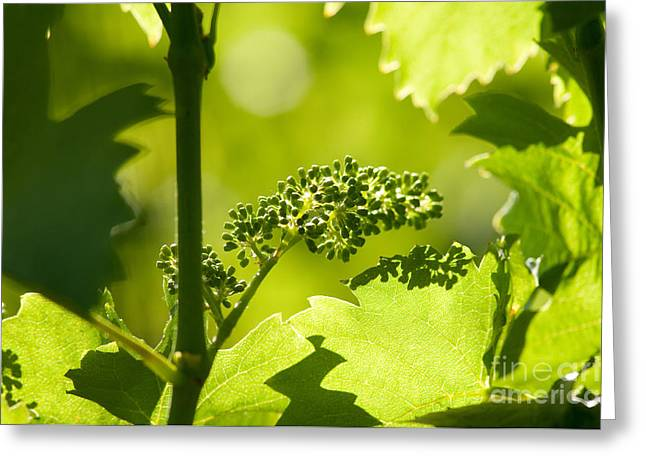 Grape Vine Greeting Cards - Grape Plants In Spring Greeting Card by Dr. Thorsten Katz