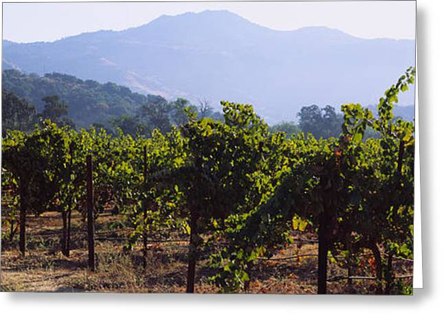 Vineyard Landscape Greeting Cards - Grape Vines In A Vineyard, Napa Valley Greeting Card by Panoramic Images