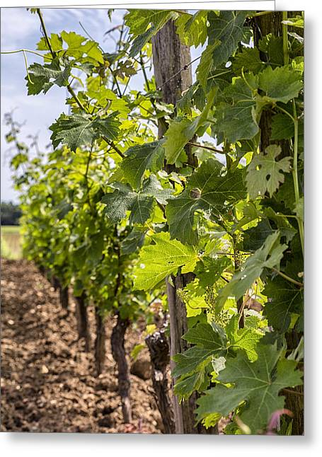 Winemaking Greeting Cards - Grape Vines in South West France Greeting Card by Nomad Art And  Design
