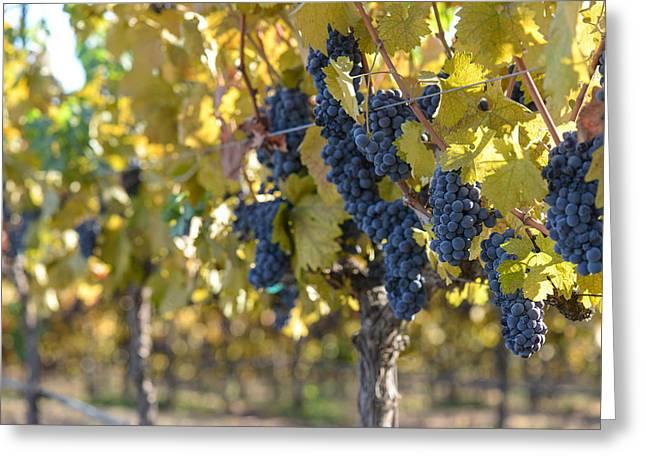 Grapevine Autumn Leaf Greeting Cards - Grape Vineyard in Autumn Greeting Card by Brandon Bourdages