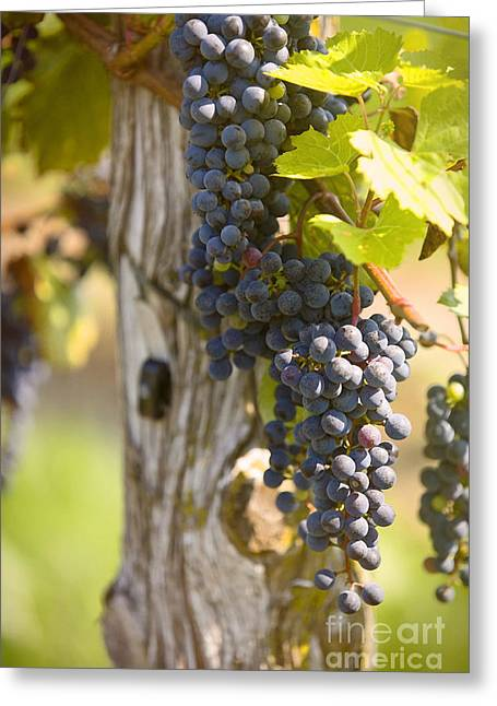 Blue Grapes Photographs Greeting Cards - Grapes and a Post Greeting Card by Jan Tyler