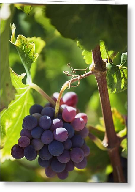 Rioja Greeting Cards - Grapes Growing On A Vinela Rioja Spain Greeting Card by Carlos Sanchez Pereyra