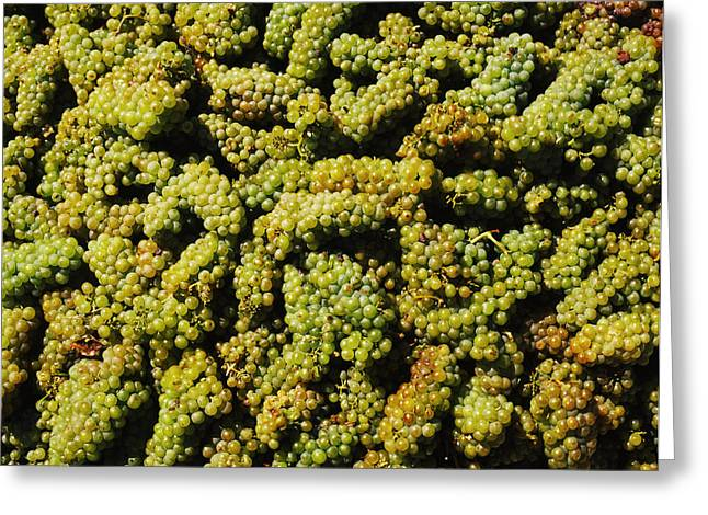 Sonoma County Vineyards. Greeting Cards - Grapes In A Vineyard, Domaine Carneros Greeting Card by Panoramic Images