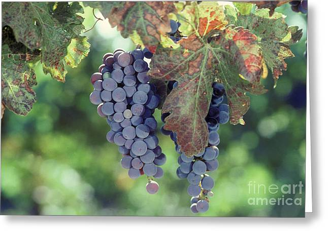 North American Vine Greeting Cards - Grapes Nearing Maturity In Napa Valley Greeting Card by Ron Sanford