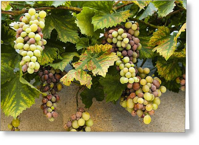 Provence Village Greeting Cards - Grapes of Provence Greeting Card by Karma Boyer