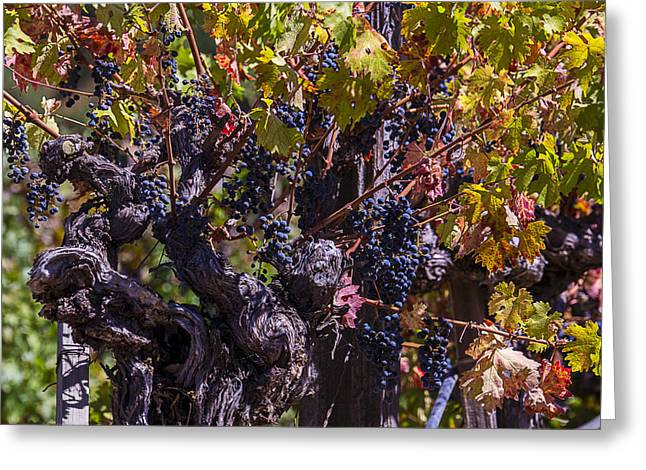 Grape Vineyard Greeting Cards - Grapes On The Vine Greeting Card by Garry Gay