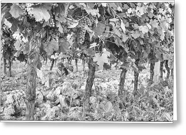 Grape Vine Greeting Cards - Grapes on the Vine Greeting Card by Nomad Art And  Design