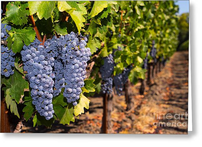 Napa Valley And Vineyards Greeting Cards - Grapes on The Vines in The St Helena Vineyards Napa California DSC1729 Greeting Card by Wingsdomain Art and Photography