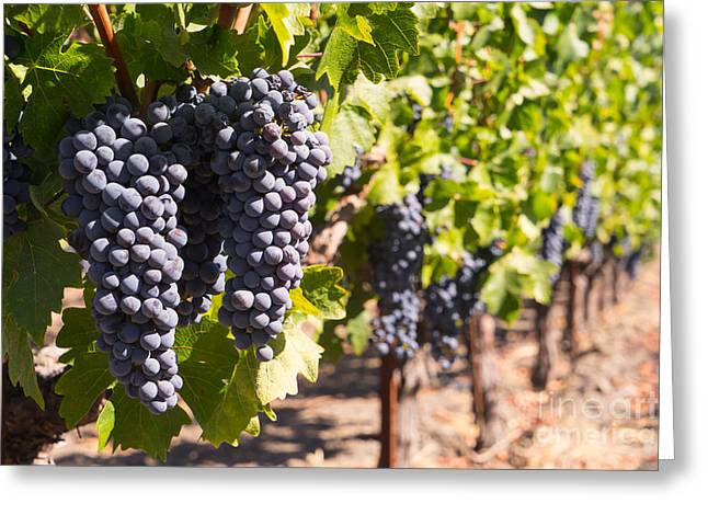 Napa Valley And Vineyards Greeting Cards - Grapes on The Vines in The St Helena Vineyards Napa California DSC1731 Greeting Card by Wingsdomain Art and Photography