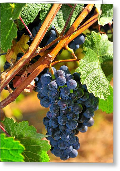 Bunch Of Grapes Greeting Cards - Grapes On Vine Greeting Card by Hella Zaiser