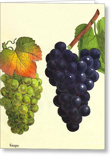 Historical Pictures Greeting Cards - Grapes Greeting Card by Sheila Terry