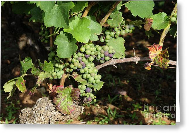 Grapevine Photographs Greeting Cards - Grapevine. Burgundy. France. Europe Greeting Card by Bernard Jaubert