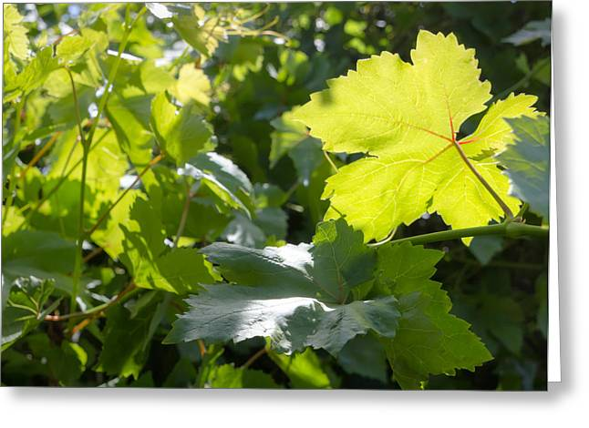 Vine Leaves Greeting Cards - Grapevine Spring Leaves  Greeting Card by Heidi Smith