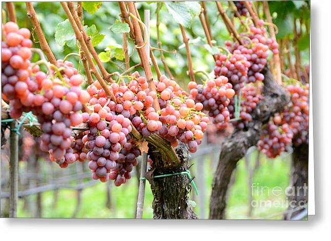 Grapevines Greeting Cards - Grapevine With Rosy Grapes Greeting Card by Karin Stein