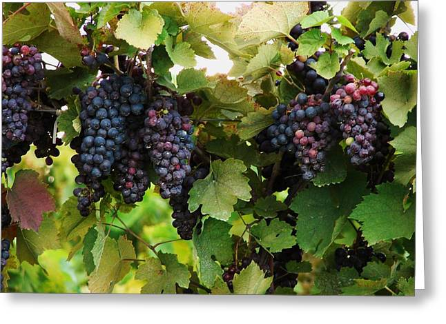 Bunch Of Grapes Greeting Cards - Grapevines #2 Greeting Card by Mia Capretta