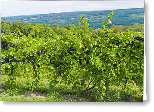 Finger Lakes Greeting Cards - Grapevines In A Vineyard, Finger Lakes Greeting Card by Panoramic Images