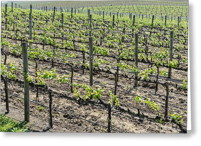 Trellis Greeting Cards - Grapevines in Napa Valley California Greeting Card by Brandon Bourdages