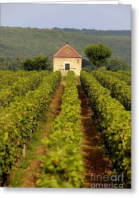 Grapevine Photographs Greeting Cards - Grapevines. Premier cru vineyard between Pernand Vergelesses and Savigny les Beaune. Burgundy. Franc Greeting Card by Bernard Jaubert
