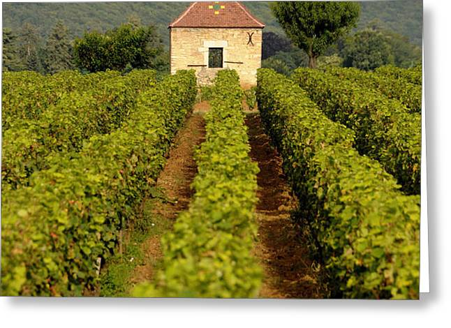 Grapevines. Premier cru vineyard between Pernand Vergelesses and Savigny les Beaune. Burgundy. Franc Greeting Card by BERNARD JAUBERT