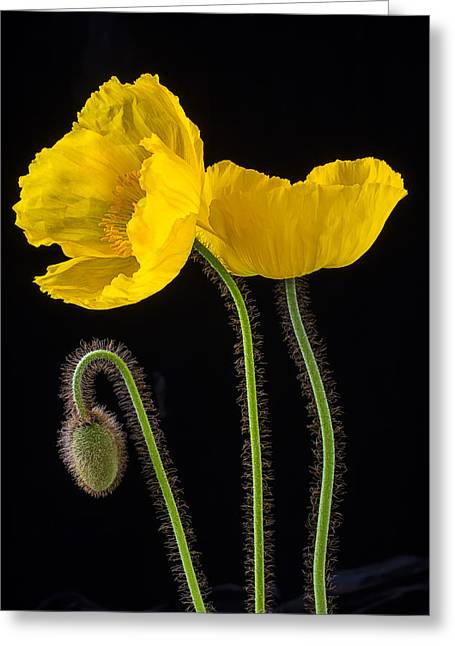 Graphic Photographs Greeting Cards - Graphic Iceland Poppies Greeting Card by Garry Gay