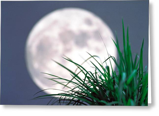 Grey Background Greeting Cards - Grass Blades With Full Moon Greeting Card by Panoramic Images