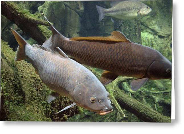 Cabelas Greeting Cards - Grass Carp Greeting Card by Bonfire Photography