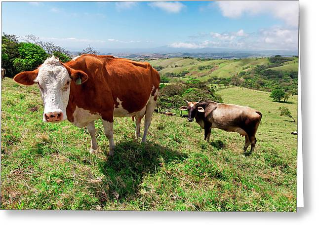 Grass Fed Cattle, Costa Rica Greeting Card by Susan Degginger