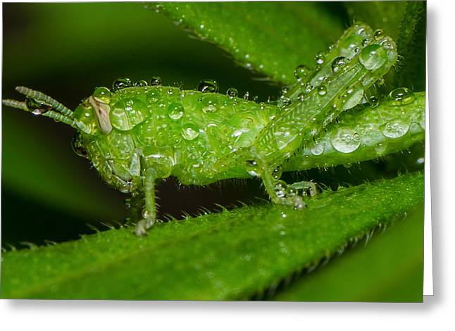 Top Seller Greeting Cards - Grass hopper in the rain Greeting Card by Tin Lung Chao