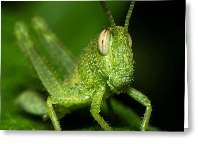 Lahaina Greeting Cards - Grass Hopper Greeting Card by Tin Lung Chao