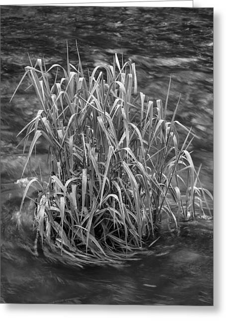 Petrifying Springs Greeting Cards - Grass in Flowing Water Greeting Card by Chris Tobias
