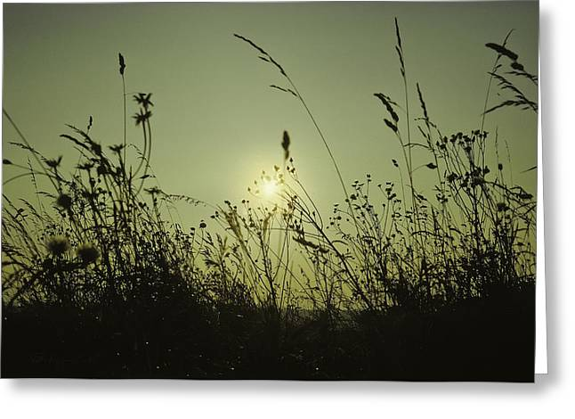 Fall Grass Pyrography Greeting Cards - Grasses in sunset Greeting Card by Peter v Quenter