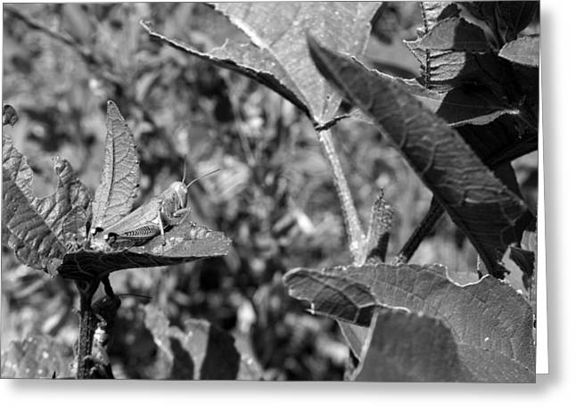 Grapevine Photographs Greeting Cards - Grasshopper 2 Greeting Card by Sean Keil