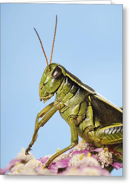 Grasshopper Close-up Greeting Card by Thomas Kitchin & Victoria Hurst
