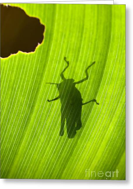 Backlit Prints Greeting Cards - Grasshopper Silhouette Backlit by the Sun on a Leaf Greeting Card by Brandon Alms