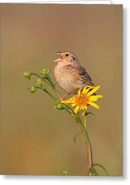 Grasshopper Sparrow Singing Greeting Card by Daniel Behm