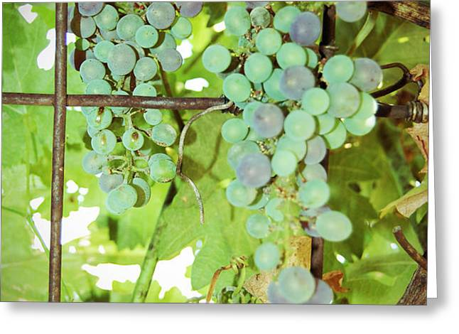 Grated Grapes Greeting Card by Holly Blunkall