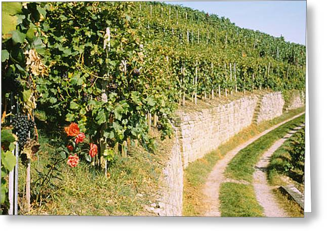 Grapevine Greeting Cards - Gravel Road Passing Through Vineyards Greeting Card by Panoramic Images